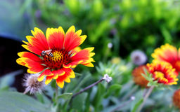 Bumblebee on a gaillardia flower Royalty Free Stock Images