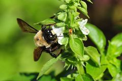 Bumblebee Garden. A bumblebee in a herbal botanical garden in Huntsville, Alabama Stock Photo