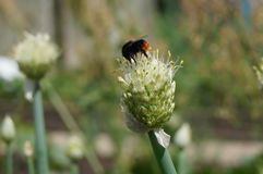 The bumblebee on the garlic. The big brown bumblebee on the flower of garlic Stock Image