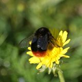 Bumblebee gathering nectar. Bumblebee busy gathering nectar from a yellow garden flower Royalty Free Stock Photos