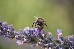 Bumblebee gathering nectar Stock Photo