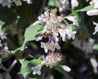 Bumblebee gathering nectar from honeysuckle. Pictured is a bumblebee gathering nectar from honeysuckle. A bumblebee is a member of the genus Bombus, part of stock image