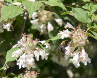 Bumblebee gathering nectar from honeysuckle. Pictured is a bumblebee gathering nectar from honeysuckle. A bumblebee is a member of the genus Bombus, part of stock images
