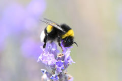 Bumblebee gathering nectar and pollen Royalty Free Stock Photo