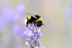 Bumblebee gathering nectar and pollen Stock Images