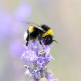Bumblebee gathering nectar and pollen Royalty Free Stock Photos