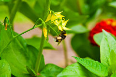 Bumblebee gathering nectar from the yellow flower. Royalty Free Stock Photography