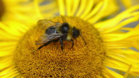 Bumblebee gathering pollen stock footage