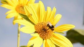 Bumblebee gathering pollen. stock footage