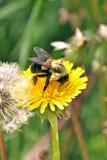 Bumblebee Gathering Pollen. A bumblebee gathering pollen on a warm sunny day Stock Photos