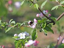 Bumblebee gathers nectar from the apple blossom. Blooming apple plantation. A young orchard of modern line-up on a spring sunny af. Ternoon. A flower of an apple Stock Image