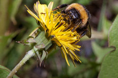 Bumblebee gathers nectar from a dandelion flower. Stock Photos