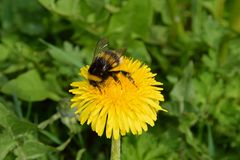 A bumblebee gathers nectar from a dandelion in the spring Park royalty free stock photo
