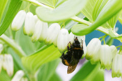Bumblebee gathers nectar from flowers Royalty Free Stock Photo