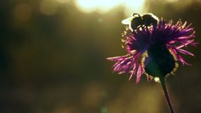 Bumblebee gathers nectar from the last autumn flowers in the evening at sunset. The setting sun beautifully illuminates stock video footage