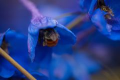 Bumblebee at flower. A bumblebee gathers nectur from a blue flower Royalty Free Stock Photos