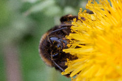 Bumblebee gathers pollen from a dandelion flower. Stock Image