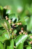 Bumblebee on a green bush on a bright summer day. Close up stock images