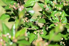 Bumblebee on a green bush on a bright summer day. Close up royalty free stock photography