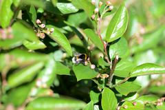 Bumblebee on a green bush on a bright summer day. Close up stock photography