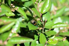 Bumblebee on a green bush on a bright summer day. Close up stock photos