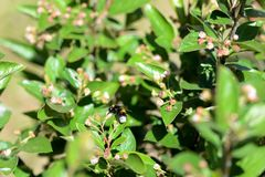 Bumblebee on a green bush on a bright summer day. Close up royalty free stock image