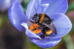 Bumblebee gromadzenia się pollen w wiośnie Zdjęcia Royalty Free
