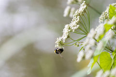 Bumblebee. A bumblebee hanging from a flower Royalty Free Stock Photos