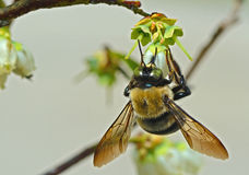 Bumblebee hangs from a Blueberry Bloom. Stock Images