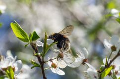 Beautiful flowering cherry trees and bumblebee pollinate. Bumblebee harvesting pollen from cherry blossom in spring day. Blossoming of cherry flowers in spring Stock Photos