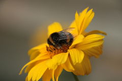 Bumblebee has a snack Royalty Free Stock Photo