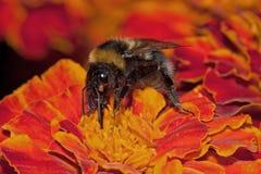 Bumblebee has a tick-parasite Stock Photos