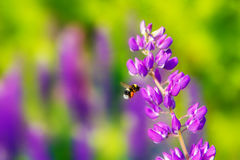 Bumblebee have colorful flower field at sunset. Royalty Free Stock Photo