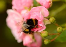 Bumblebee head down in rose blossom Royalty Free Stock Image