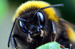 Bumblebee - High magnification Royalty Free Stock Photo