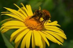 Bumblebee and his proboscis Stock Image