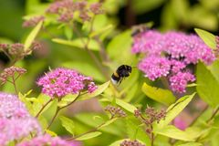 A bumblebee collecting pollen. A bumblebee hovering while collecting pollen from flower of spirea. Its hairs and legs are covered in pollen Stock Photos