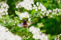 Bumblebee hovering over flowering branches. Stock Photography