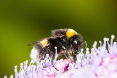 Bumblebee on a hydrangea flower Stock Photo