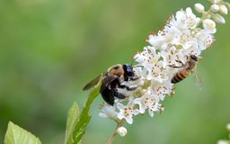Bumblebee i honeybee obrazy stock