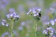Bumblebee i phacelia kwiaty Obraz Stock
