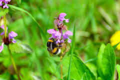 Bumblebee i purpura kwiat Obrazy Stock