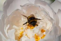 Bumblebee inside white peony Stock Photo