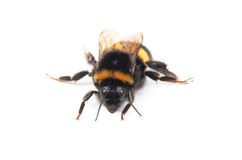 Bumblebee isolated on the white Royalty Free Stock Photo