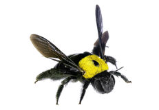 Bumblebee. Isolated on the white background Stock Photography