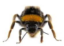 Bumblebee Royalty Free Stock Photography