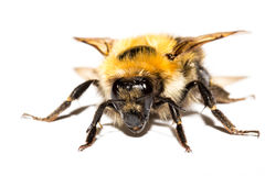 Bumblebee isolated Stock Image