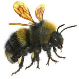 Bumblebee isolated on white. 3D illustration. Bumblebee isolated on white background. 3D illustration Royalty Free Stock Photos