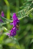 Bumblebee je nektar od kwiatu Zdjęcia Stock
