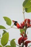 Bumblebee on kapok flower Stock Image